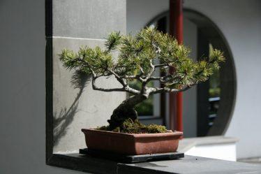 Tutte le procedure per rinvasare un bonsai